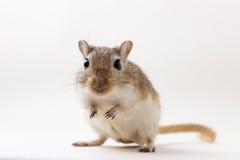 沙鼠-逗人喜爱的宠物 库存照片
