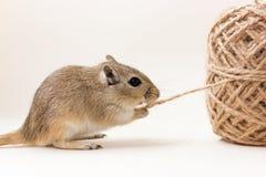 沙鼠-逗人喜爱的宠物 免版税库存照片