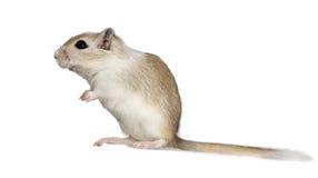 沙鼠 免版税图库摄影