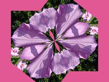 沙仑的玫瑰花变形了 库存照片