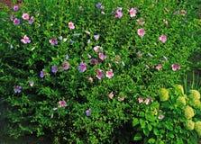 沙仑的玫瑰花灌木 图库摄影