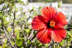 沙仑的玫瑰花(木槿) 库存图片