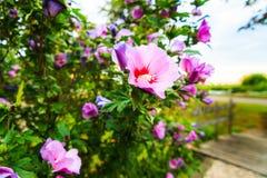 沙仑的玫瑰花 免版税库存图片