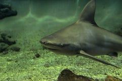 沙洲鲨鱼 免版税库存图片