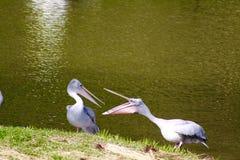 沟通在湖附近的两伟大的白色鹈鹕 免版税图库摄影