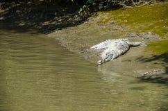 没有一条腿的鳄鱼 免版税库存照片