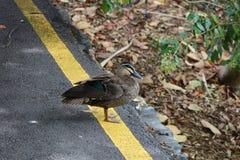 没有停止在黄线, duckie 库存照片