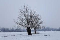 没有叶子的两棵大树在冬天雪 库存图片