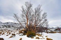 没有叶子的偏僻的树在一个多雪的领域 库存图片