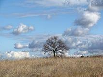 没有叶子的偏僻的树在领域的晚秋天 与云彩的无限蓝天 免版税图库摄影