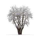 没有叶子的冬天树 图库摄影