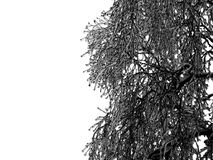 没有叶子的冻结的树枝在有薄雾的冬日季节在白色背景中 库存照片