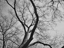 没有叶子的大反差黑白树 库存图片