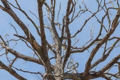 没有叶子的大死的树 免版税库存照片