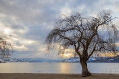 没有叶子的孤立落叶树现出轮廓反对湖和日落 免版税库存照片