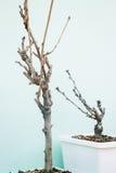 没有叶子的微型树在白色罐 免版税图库摄影