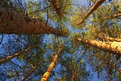 没有叶子的春天森林 库存图片