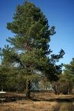 没有叶子的春天森林 免版税库存照片
