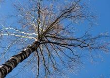 没有叶子的树反对蓝天 库存照片