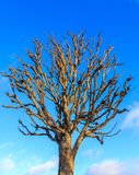 没有叶子的树在冬天 图库摄影