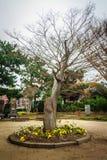 没有叶子的树在济州Mokgwana 库存照片