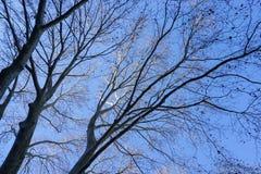 没有叶子的树在秋天 库存图片