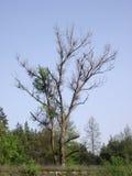 没有叶子的树枝 免版税图库摄影