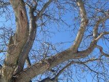 没有叶子的树梢分支 库存图片