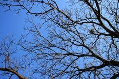 没有叶子的核桃树有蓝天的在背景中 库存照片
