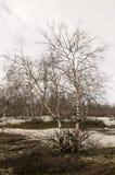 没有叶子的桦树在早期的春天 行军 库存图片