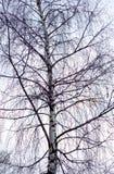 没有叶子的桦树 免版税库存照片