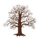 没有叶子的橡木在白色背景 免版税图库摄影