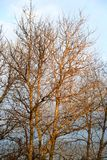 没有叶子的白扬树 库存图片
