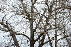 没有叶子的白扬树 免版税库存照片