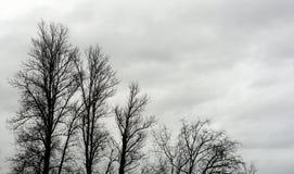 没有叶子的白扬树 库存照片