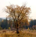 没有叶子的秋天树 免版税图库摄影
