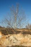 没有叶子的美丽的树 图库摄影