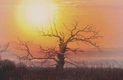 没有叶子的老橡树在日落 免版税图库摄影