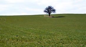 没有叶子的落叶树在领域 库存照片