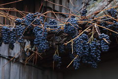 没有叶子的葡萄树 免版税库存图片