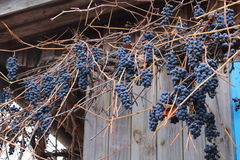 没有叶子的葡萄树 免版税库存照片
