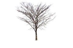 没有叶子的被隔绝的树 库存图片