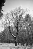 没有叶子的高大的树木在冬天森林里 免版税库存图片