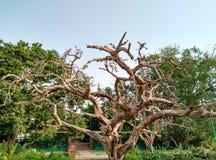 没有叶子的结构树 免版税图库摄影