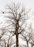 没有叶子的死的树 免版税库存图片