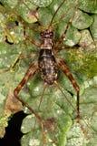 没有合理的机器的成年男性热带蟋蟀 图库摄影