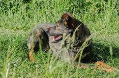没有品种的一条狗与棕色羊毛通过草甸走 图库摄影