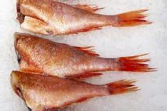 没有在冰排行的头的鲈鱼 库存图片