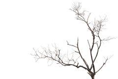 没有在白色隔绝的叶子的树枝 库存照片