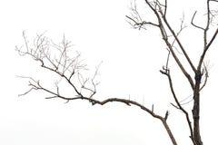 没有在白色隔绝的叶子的树枝 免版税库存图片